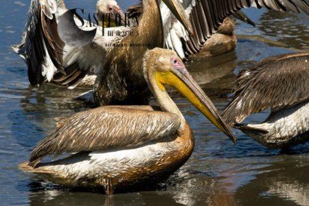 Great White Pelican (Pelecanus Onocrotalus), Or Eastern White Pelican, Rosy Pelican Or White Pelican