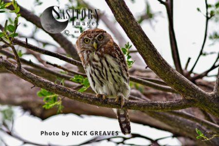 Pearl Spotted Owlet (Glaucidium Perlatum)