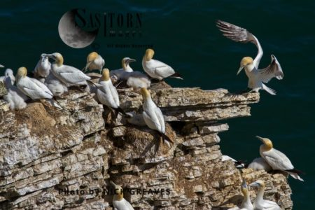 Northern Gannet (Morus Bassanus), A Colony