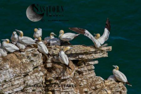 Northern Gannet (Morus Bassanus) At Nests