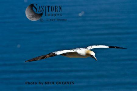Northern Gannet (Morus Bassanus) Gliding