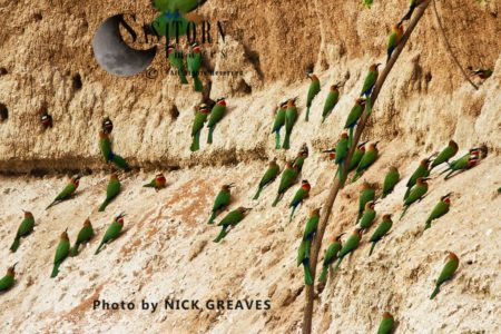 White-fronted Bee-eater (Merops Bullockoides) Colony