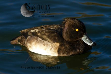 Tufted Duck (Aythya Fuligula)drake, Male Duck