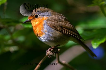 European Robin (Erithacus Rubecula) Perched On Branch