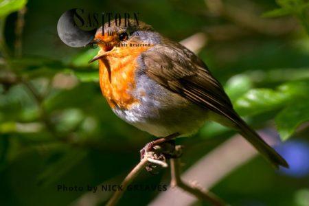 European Robin (Erithacus Rubecula) Singing