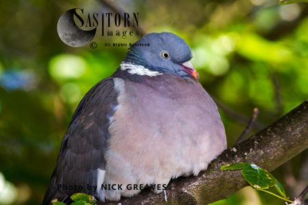 Common Wood Pigeon (Columba Palumbus), Resting