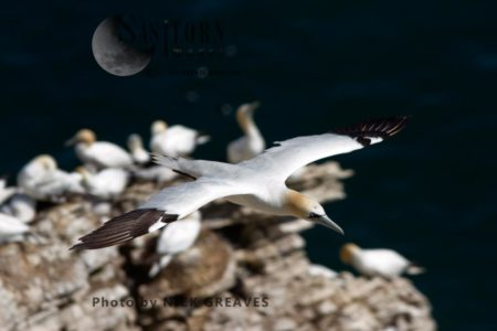 Adult Gannet Flying To Nest