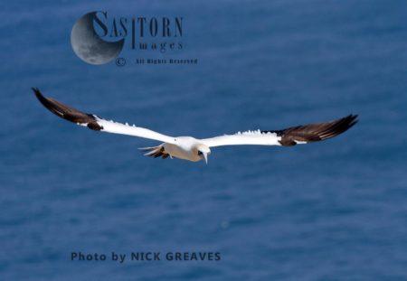 Adult Gannet In Flight