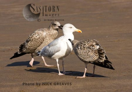 Adult Herring Gull With Juveniles