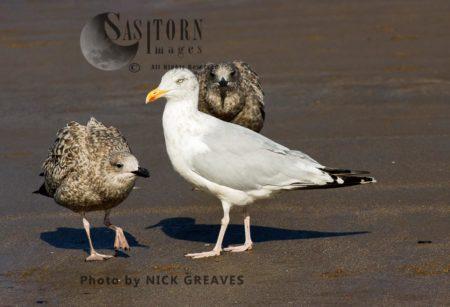 Adult With Juvenile Herring Gulls