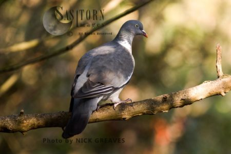 Wood Pigeon Adult