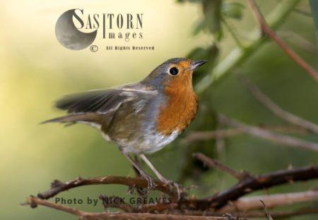 Alert Robin