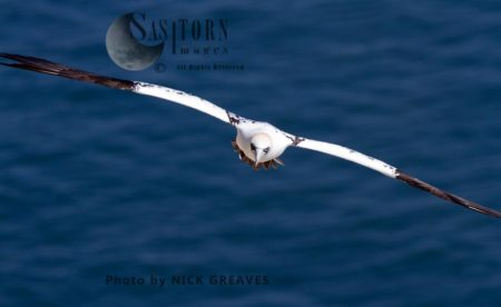 Approaching Northern Gannet
