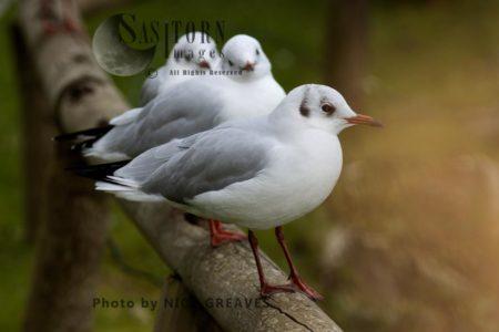 Black-headed Gulls In Winter Plumage