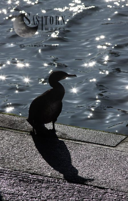 Great Cormorant Silhouette