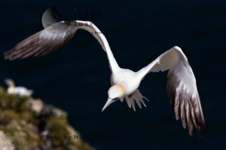 Gannet About To Land At Nest