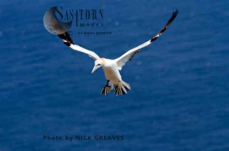 Gannet Approaching Nest Site