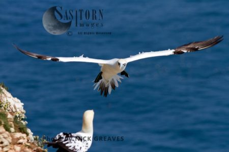 Gannet Flying Onto Nest Ledge
