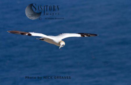 Gannet Looking At Nest Landing Area