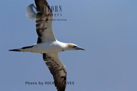 A Gannet Gliding Past