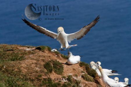 Gannet Landing On Cliff Top