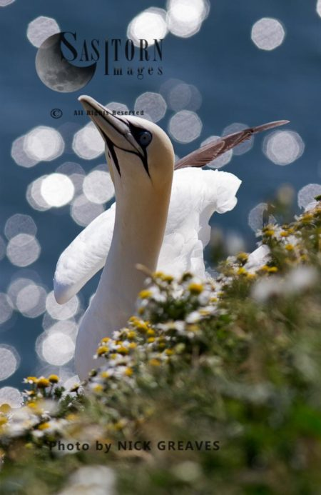 Gannet On Nest Ledge