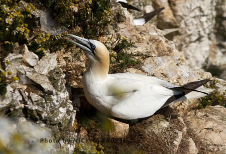 Gannet Sheltering Small Chick