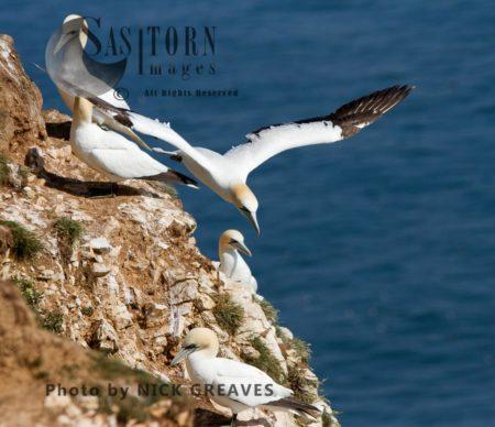 Gannets Nesting On Cliff
