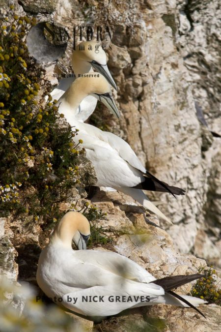 Gannets On Nest Ledge