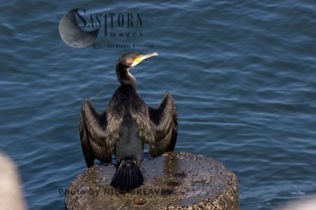 Great Cormorant Drying Out