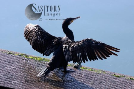 Great Cormorant Drying Wings