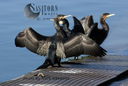 Great Cormorant Drying