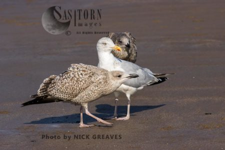 Herring Gull Adult With Juveniles