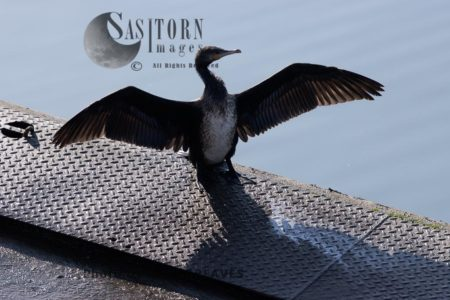 Juvenile Cormorant Drying In The Sun