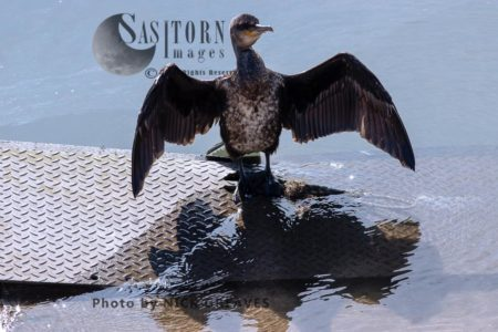 Juvenile Cormorant Drying Wings