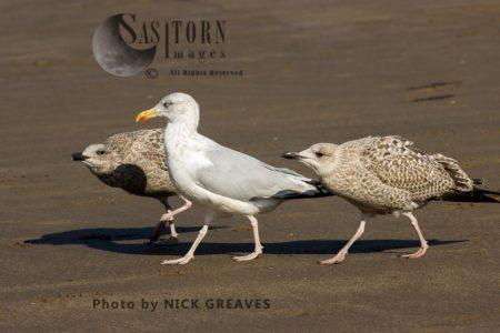 Herring Gull Juvenile Behaviour