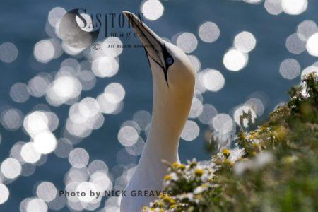 Adult Gannet Portrait
