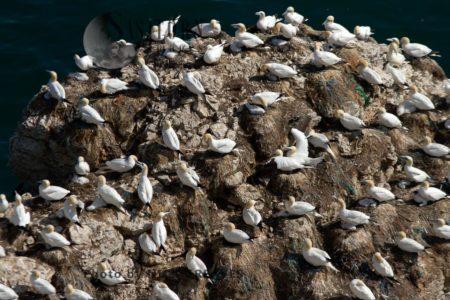 Gannet Social Spacing