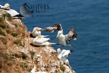 Sub-adult Gannet Landing Next To Breeding Brds