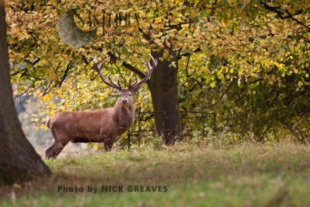 Red Deer (Cervus Elaphus) Stag, Studley Park, North Yorkshire, England