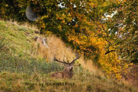 Red Deer (Cervus Elaphus) Stag Resting