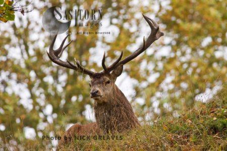 Red Deer (Cervus Elaphus) Resting Stag