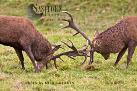 Red Deer (Cervus Elaphus) Stags Locking Horns, Studley Park, North Yorkshire, England