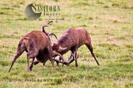 Red Deer (Cervus Elaphus) Stags Locking Horns To Establish Dominance, Studley Park, North Yorkshire, England