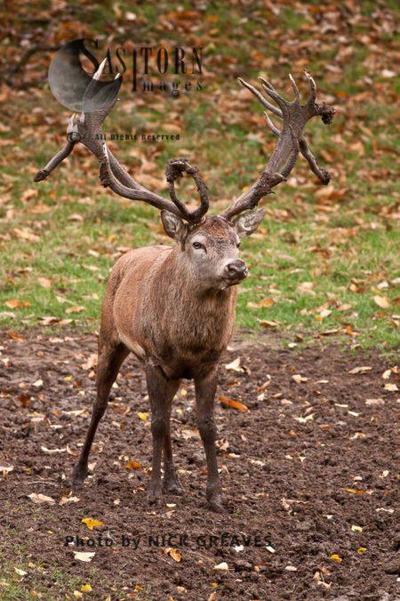 Red Deer (Cervus Elaphus) Dominant Stag, Studley Park, North Yorkshire, England
