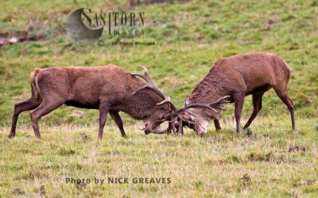 Red Deer (Cervus Elaphus) Stags Fighting, Studley Park, North Yorkshire, England