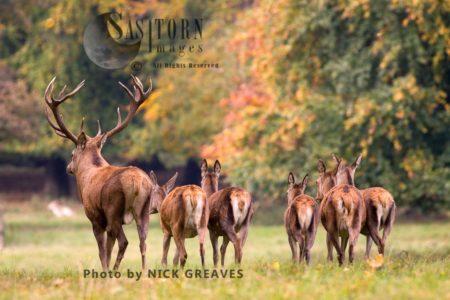 Red Deer (Cervus Elaphus) Stag And Hinds, Studley Park, North Yorkshire, England