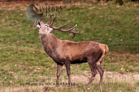 Red Deer (Cervus Elaphus) Stag Bugling, Studley Park, North Yorkshire, England