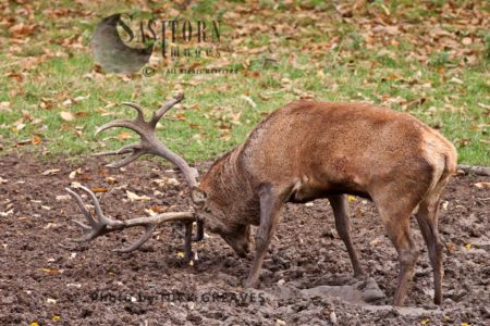 Red Deer (Cervus Elaphus) Stag At Wallow, Studley Park, North Yorkshire, England