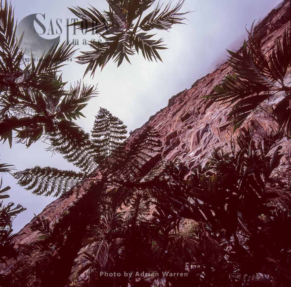 Palms and tree fern at base of wall, Mount Roraima, Teouis, Canaima National Park, Venezuela